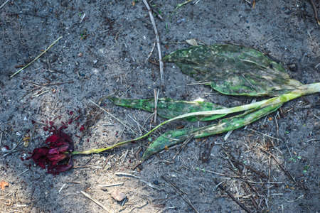 wilted tulip flower, trampled on the ground. Close-up. The concept of death, aging, decline. Decadence. With the premise of mourning