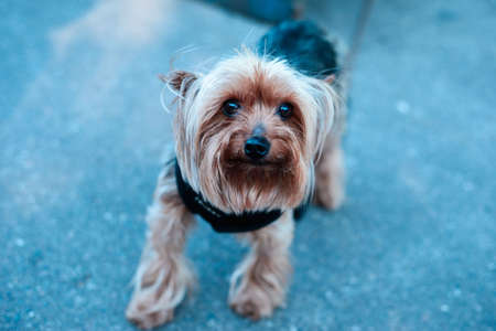 Yorkshire terrier playing in the park on the grass Stock Photo