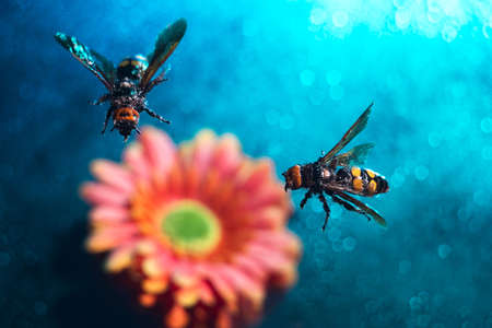 two big queen bees. A pair of wasps flying, on a colorful background, on gerbera flowers. Bees collecting honey. Beautiful multi-colored, floral background. Advertising photo of insects