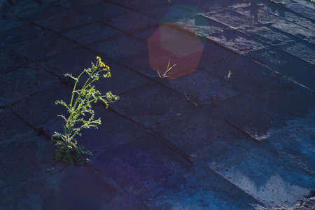 yellow flower grows from the asphalt, illuminated by a sunbeam. Visual concept of the struggle for life. Unlimited Frames