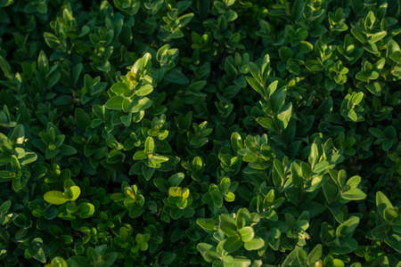 green box hedge background with green leaves texture of the green bush of the park, closeup of bush leaves, top view. Natural green leafy bush texture. Mine space, blank, pattern, natural background, wallpaper