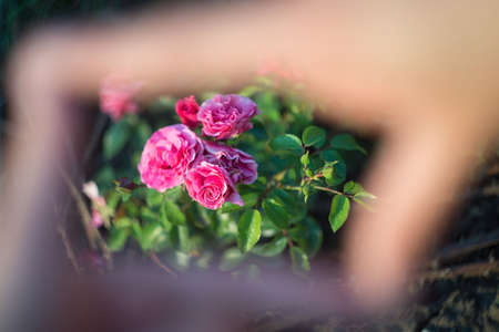 roses in focus, look through the frame of the frame from the hands in defocus blur. Texture of natural background of floral red rose look through the frame of the hands.