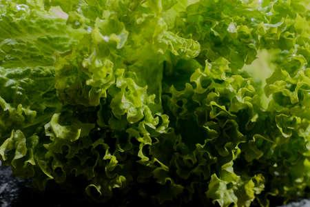 lettuce salad leaves foliage green background natural garden fresh green