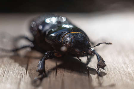 closeup of a large brown beetle with horns, on a wooden background, in the rain. Beetles Insects Bugs Japanese rhinoceros