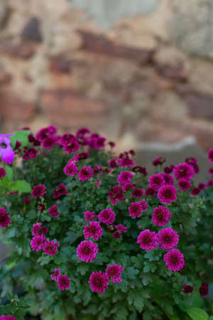 a bouquet of pink chrysanthemum flowers, against the background of an old wall Sweet pink chrysanthemums blooming in garden