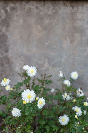 flowers of white chrysanthemum on the background of an old vintage wall, street entrance of the house White flowers in a vase on the background of the old wall. Bouquet of white chrysanthemums in vintage jug. Home floral interior. Retro style.