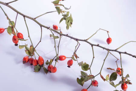 rosehip branches with red berries on a white background Many fresh rose hips on a table with basket