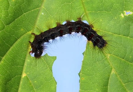 a caterpillar eating a leaf  Stock Photo