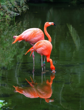 Two pink flamingos are searching feed in the water  Stock Photo
