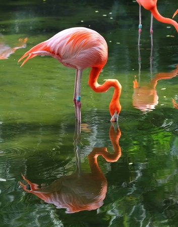 pink flamingo is searching feed in the water