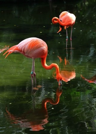 Two pink flamingos in the water