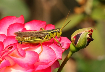 A close up of a grasshopper sitting on wild red rose