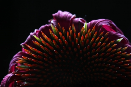 cone Echinacea flower against black  Stock Photo