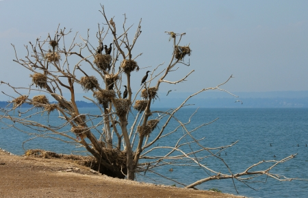 cormorant nests in a tree, lake Ontario, Canada