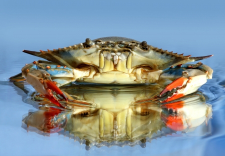 crabs: live blue crab on blue background