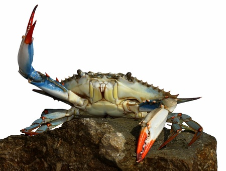 live blue crab in a fight pose on the rock Stock Photo - 16729810