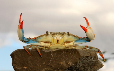crab: live blue crab in a fight pose on the rock