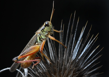 A close up of the grasshopper on dry thistle  Isolated on black   Stock Photo