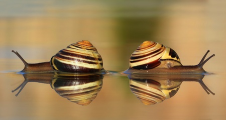 Two snails in the water  Stock Photo