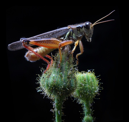 A close up of the grasshopper on flower bud  Isolated on black   Stock Photo