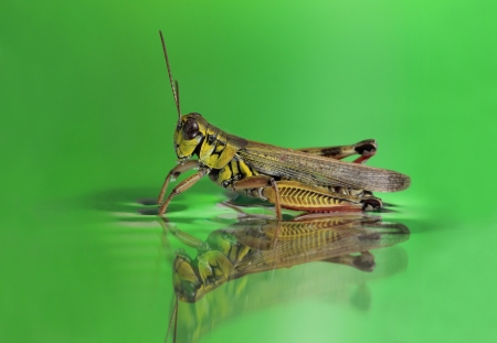 grasshopper in the water on a green background Stock Photo