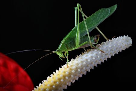 Green grasshopper on anthurium flower on black Stock Photo