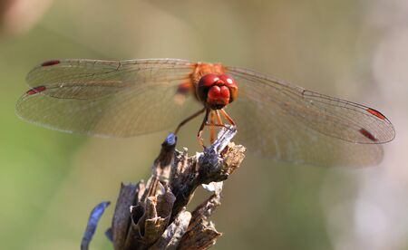 A red dragonfly at rest  Stock Photo