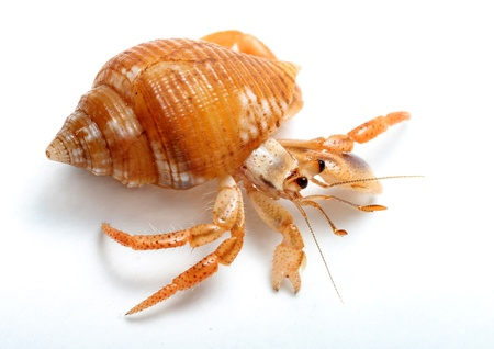 hermit crab: Hermit Crab from Caribbean Sea isolated on white background