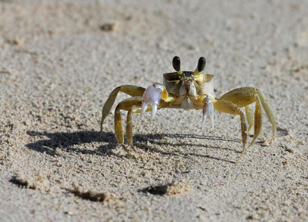 A tropical yellow Caribbean crab on a beach  Stock Photo