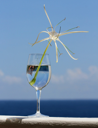 Elegant White Spider Lily in Wine Glass against Sky and Caribbean sea   Stock Photo