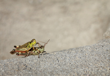 two grasshoppers with grey copy space  Stock Photo