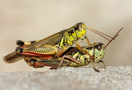 A close up of the two grasshoppers  photo