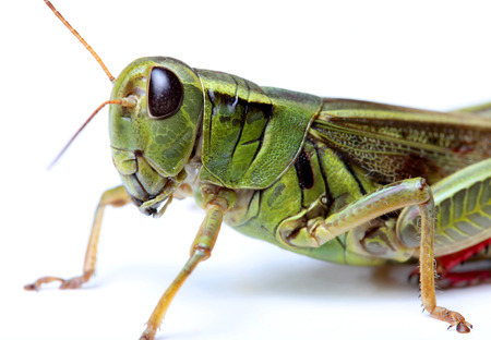 closeup of grasshopper isolated on white background
