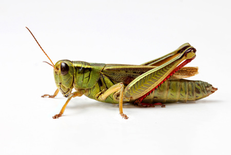 side view of grasshopper isolated on white background
