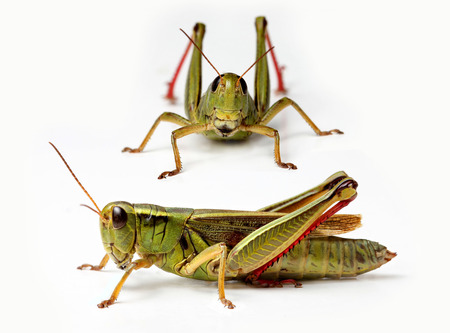 front and side view of grasshopper isolated on white background photo