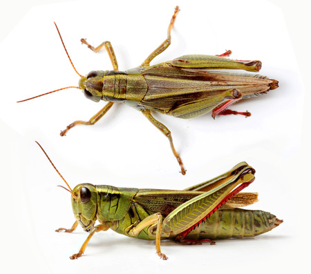 Top and side view of grasshopper isolated on white background