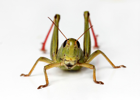 front view of grasshopper isolated on white background
