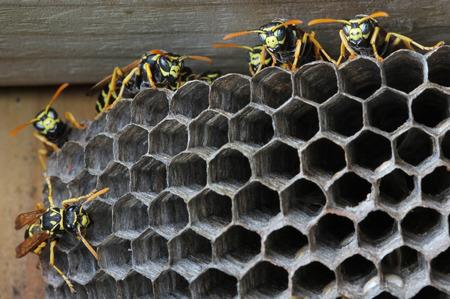 Nest of wasps photo
