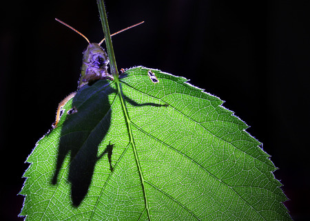 The shadow of grasshopper on green leaf   photo
