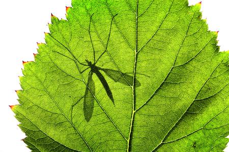 Shadow of Cranefly or daddylonglegs on green leaf
