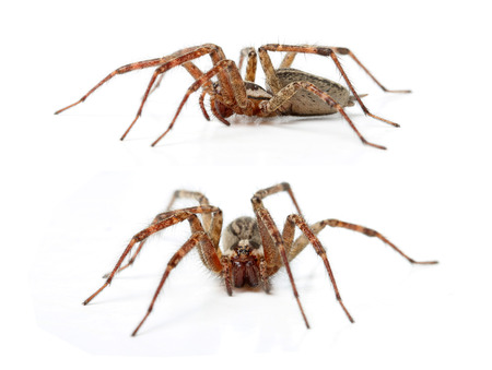 The Hobo Spider, Tegenaria Agrestis isolated on white. Stock Photo