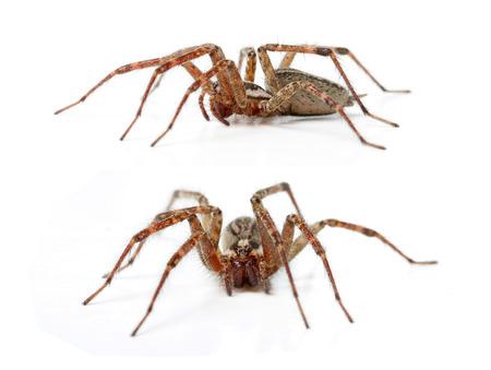 hobo: The Hobo Spider, Tegenaria Agrestis isolated on white. Stock Photo