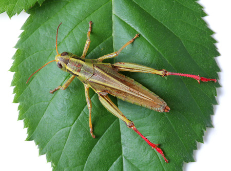 top view of grasshopper isolated on white background
