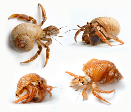 Set of Hermit Crabs from Caribbean Sea isolated on white background Stockfoto