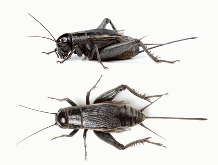 cricket insect: Top and side view of black cricket isolated on white background Stock Photo