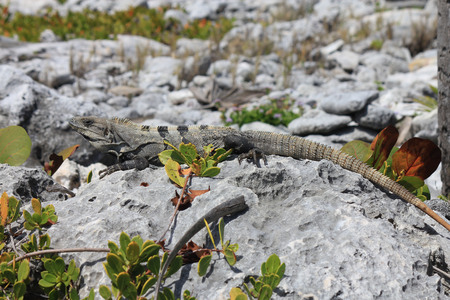 iguana leaning on a dead coral Stock Photo