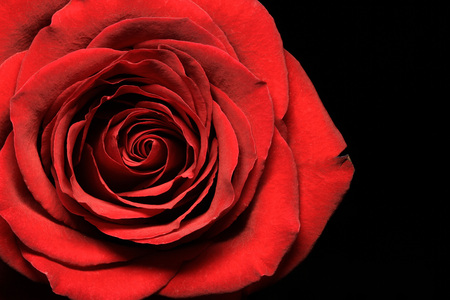 Close up of red rose on black background