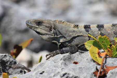 Black iguana leaning on a dead coral