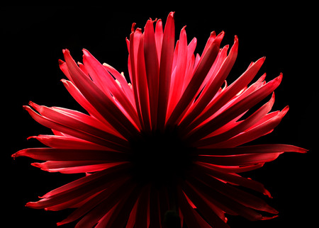 chrysanthemum on black background