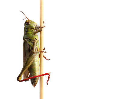 Grasshopper on plant against white background with copy space